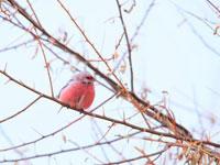 可爱 长尾/乖巧可爱长尾雀为新疆冰天雪地增活力