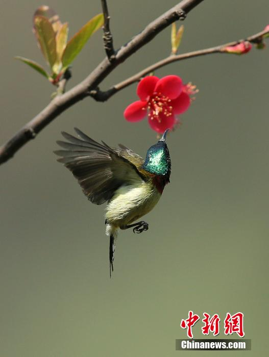 阳春三月 太阳鸟觅花香