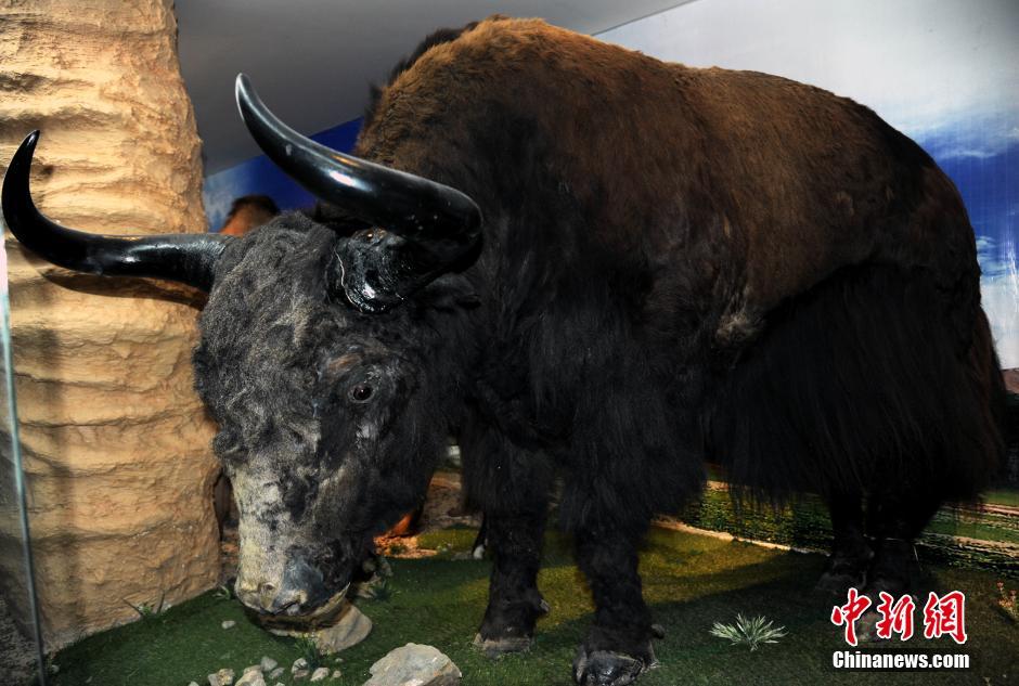 4月10日,青海西宁,中国科学院西北高原生物研究所青藏高原生物标本馆展示馆藏的珍稀动物野牦牛标本,据介绍,该标本野牦牛尚未成年,其成年后体积还将至少增加1/3。青藏高原生物标本馆始建于1962年,馆藏标本现达48万多号(份),其中植物正份标本近28万份、副份4万份,动物标本16万多号,是目前收藏青藏高原地区动植物标本数量最多、种类最全的标本馆。中新社发 孙自法 摄