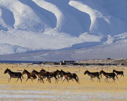 西藏阿里:野生动物的天堂