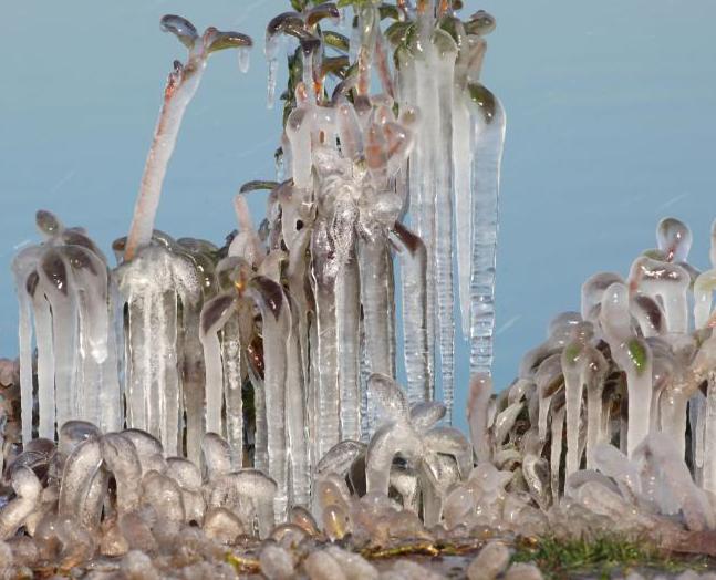 甘肃张掖气温下降 树木植被形成冰挂
